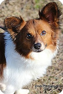 Papillon Mix Dog for adoption in Braintree, Massachusetts - Bailey
