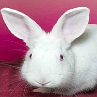 Adopt A Pet :: BUN BUN - Alameda, CA