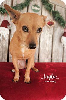 Dachshund/Chihuahua Mix Dog for adoption in San Antonio, Texas - Layla