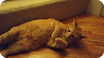 Domestic Shorthair Cat for adoption in Warren, Michigan - Tigger