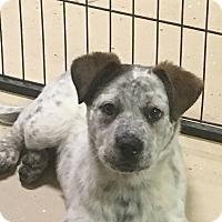 Adopt A Pet :: Sky - Westminster, MD