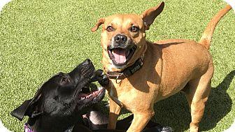 Terrier (Unknown Type, Medium) Mix Dog for adoption in Okatie, South Carolina - GIDGET