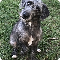 Adopt A Pet :: Mika - Tumwater, WA