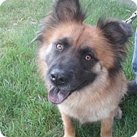 Adopt A Pet :: Shay - Sacramento, CA