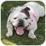 Photo 1 - English Bulldog Dog for adoption in Winder, Georgia - Aurora