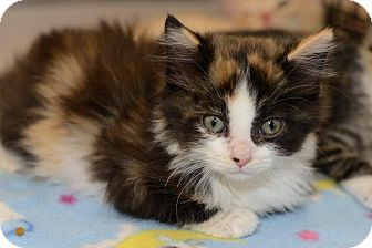 Calico Kitten for adoption in Harrisburg, North Carolina - Candy
