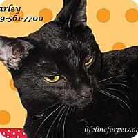 Siamese Cat for adoption in Monrovia, California - Happy HARLEY