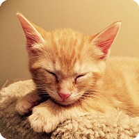 Adopt A Pet :: Sizzle - St. Louis, MO