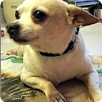 Adopt A Pet :: Littlle Bit - Wallingford Area, CT
