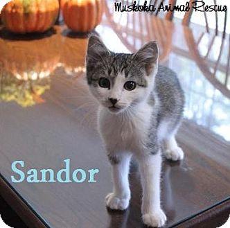 Domestic Shorthair Kitten for adoption in Huntsville, Ontario - Sandor -Adopted December  2016
