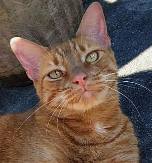 Oriental Cat for adoption in Kingwood, Texas - Simba