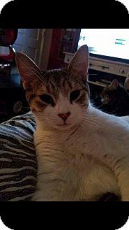 Domestic Shorthair Kitten for adoption in Middletown, Ohio - Hogan