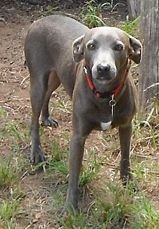 Blue Lacy/Texas Lacy Dog for adoption in Wallis, Texas - Dusty