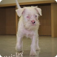 Adopt A Pet :: Paizley - Santa Fe, TX