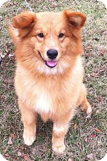 Golden Retriever/Sheltie, Shetland Sheepdog Mix Dog for adoption in New Canaan, Connecticut - Glory