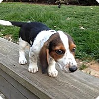 Adopt A Pet :: Four Roses - Staunton, VA