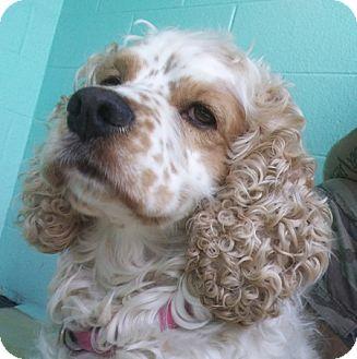 Cocker Spaniel Dog for adoption in Kannapolis, North Carolina - Toby -Adopted!