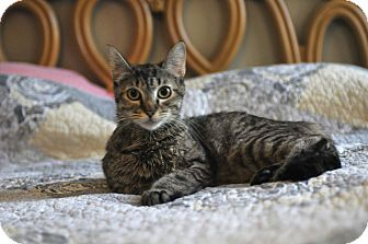 Domestic Shorthair Cat for adoption in Tomball, Texas - Sarafena