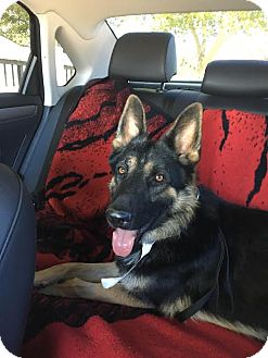 German Shepherd Dog Dog for adoption in Marina del Rey, California - Branston