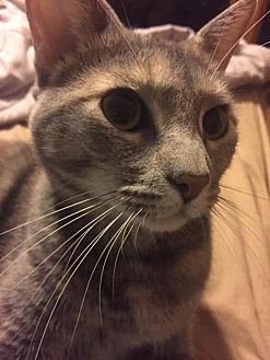 Domestic Shorthair Cat for adoption in Napa, California - Sweets