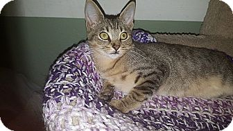 Domestic Shorthair Kitten for adoption in Tampa, Florida - Jett