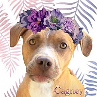 Adopt A Pet :: Cagney - Huntington Beach, CA