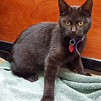 Domestic Mediumhair Kitten for adoption in Youngsville, North Carolina - Nirvana