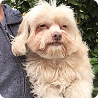 Adopt A Pet :: Chewbacca - Temecula, CA