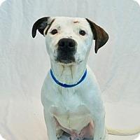 Adopt A Pet :: Brimstone - New Orleans, LA