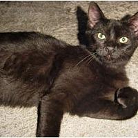 Adopt A Pet :: Bewitched FE1-7307 - Thibodaux, LA