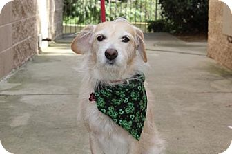 Terrier (Unknown Type, Medium)/Cairn Terrier Mix Dog for adoption in Chino Hills, California - Milo - Chino Hills