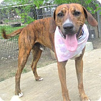 Hound (Unknown Type)/Whippet Mix Dog for adoption in Godley, Texas - Binnie