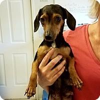 Adopt A Pet :: Sophia - Fair Oaks Ranch, TX
