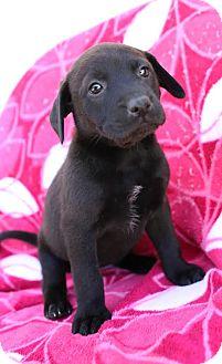 Labrador Retriever Mix Puppy for adoption in Allentown, Pennsylvania - Astrid
