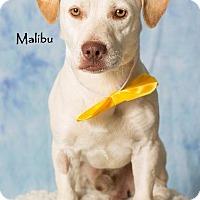 Adopt A Pet :: Malibu - Gilbert, AZ