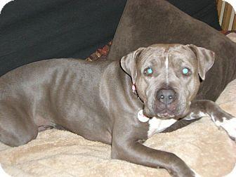 American Pit Bull Terrier Mix Dog for adoption in Bellingham, Washington - Nena