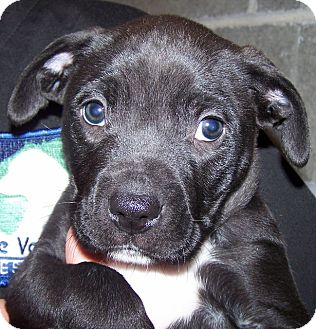 Labrador Retriever/American Staffordshire Terrier Mix Puppy for adoption in Grants Pass, Oregon - Spankie