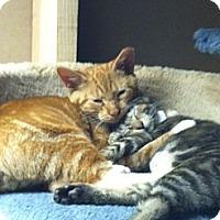 Adopt A Pet :: Copper - Island Park, NY