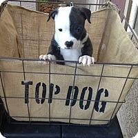 Adopt A Pet :: GLORY - Higley, AZ