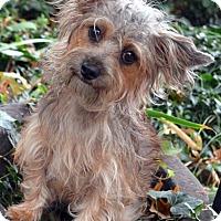 Adopt A Pet :: Fiona-Adoption pending - Bridgeton, MO