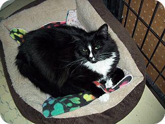 Domestic Mediumhair Cat for adoption in Glendale, Arizona - Lola