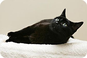 Domestic Shorthair Cat for adoption in Bellingham, Washington - Zoey