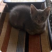 Adopt A Pet :: Toulouse - Scottsdale, AZ