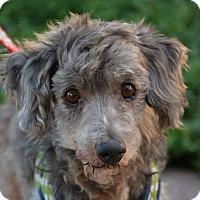 Adopt A Pet :: Ashton - Phoenix, AZ