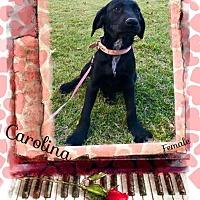 Adopt A Pet :: Carolina in CT - Manchester, CT