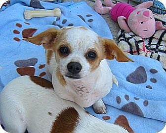 Chihuahua/Jack Russell Terrier Mix Dog for adoption in Acworth, Georgia - Annie