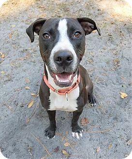 Labrador Retriever/Terrier (Unknown Type, Medium) Mix Dog for adoption in Umatilla, Florida - Tucker