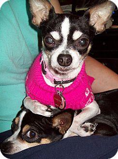 Chihuahua Mix Dog for adoption in San Antonio, Texas - Callie