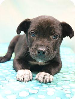Labrador Retriever/Border Collie Mix Puppy for adoption in Bedminster, New Jersey - Petey