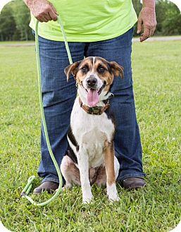 Beagle/Feist Mix Dog for adoption in Austin, Arkansas - Harley